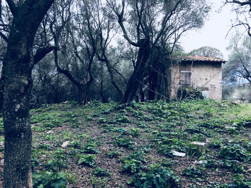 Rudere all'inizio di Salita Canata in direzione Lerici immersa negli ulivi. Zona pedonale parzialmente carrozzabile. Location Scouting Italia - duzimage